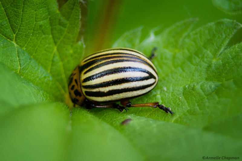 Doryphore-Leptinotarsa  decemlineata