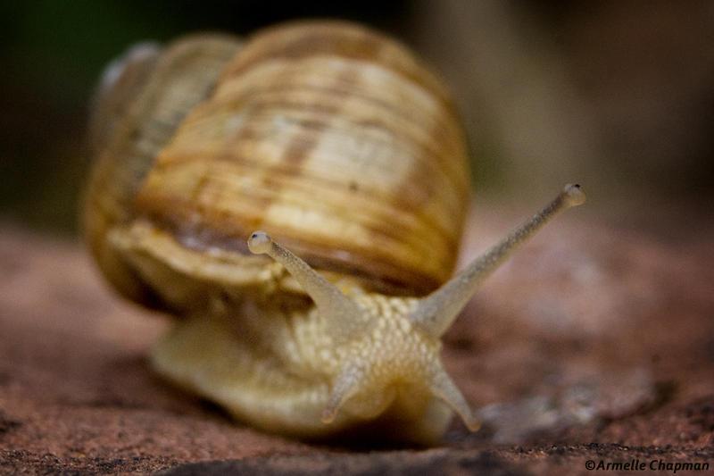 Escargot de Bourgogne-Helix  pomatia
