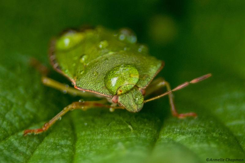 Punaise verte-Palomena prasina